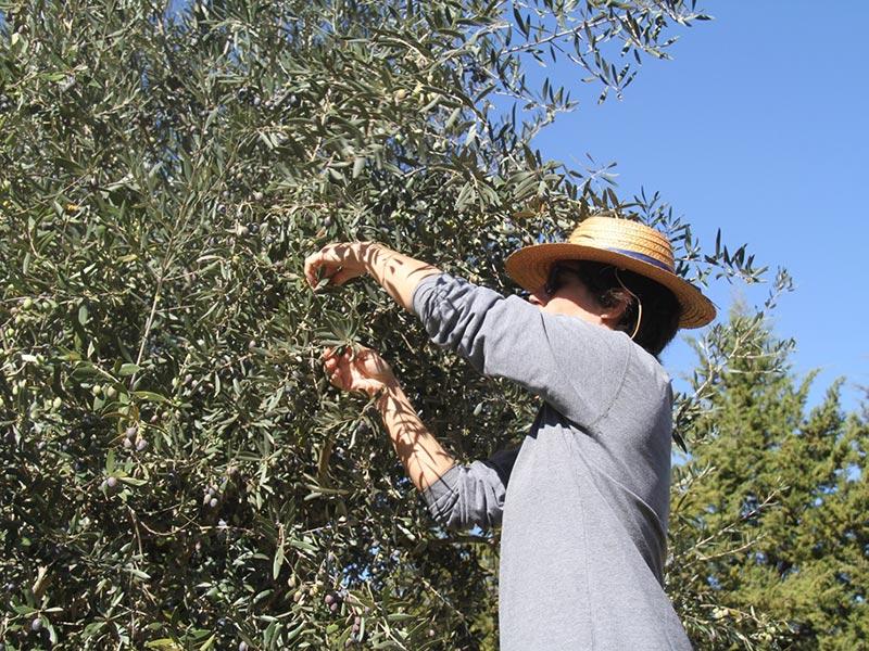Apanha da azeitona